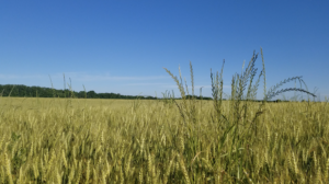 Cover photo for Post-Emergence Control of Italian Ryegrass